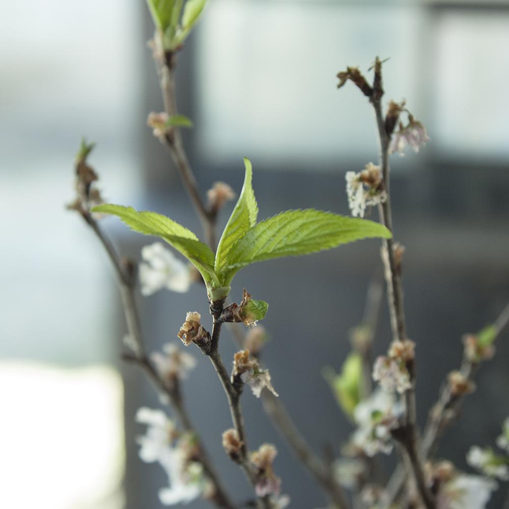 オルンショップ入り口の葉桜。